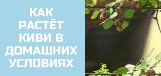 Россия Как растет киви в домашних условиях