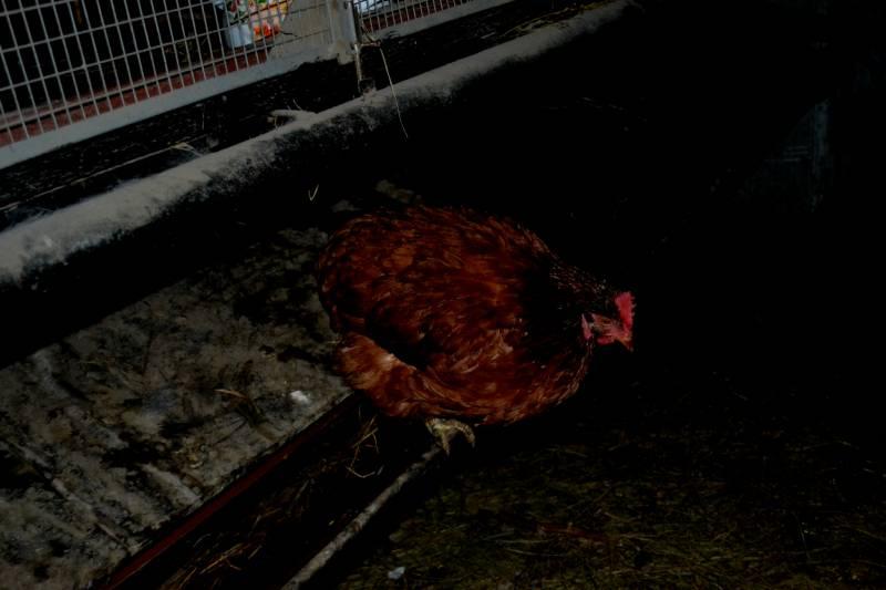 Где и как ночуют куры в курятнике
