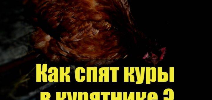 Как курицы спят в курятнике