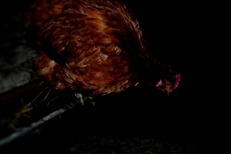 Курица уселась одна спать на ночь
