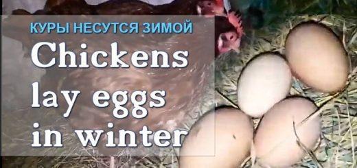 Чтобы куры неслись зимой