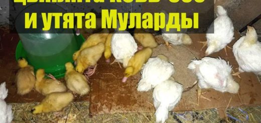 Цыплята бройлеры кобб-500 и утята Мулард