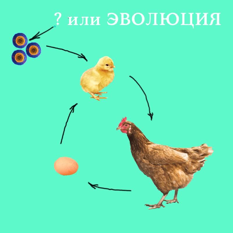 Кто первый - курица или яйцо
