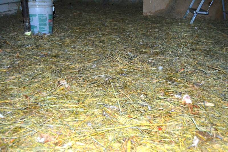Подстилка из сена на пол в курятнике